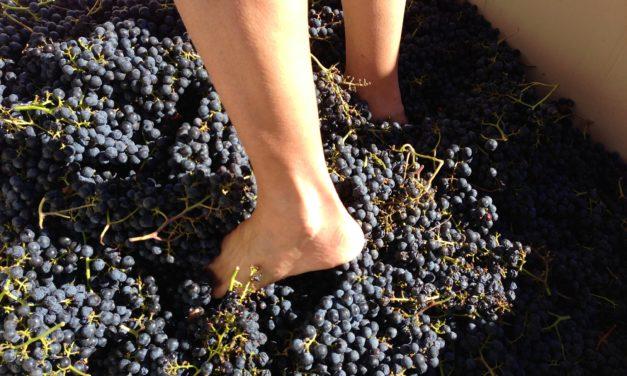Grape Stomping at Tractorless Vineyards